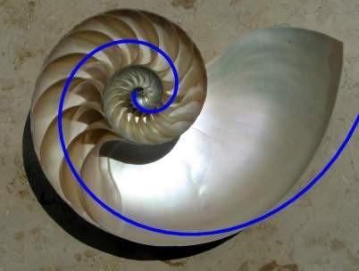 Spirala Fibonacciego - muszla ślimaka